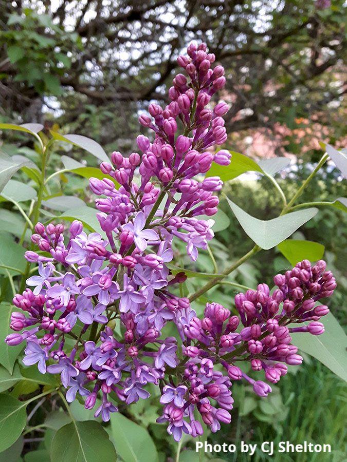 Lilac - photo by CJ Shelton