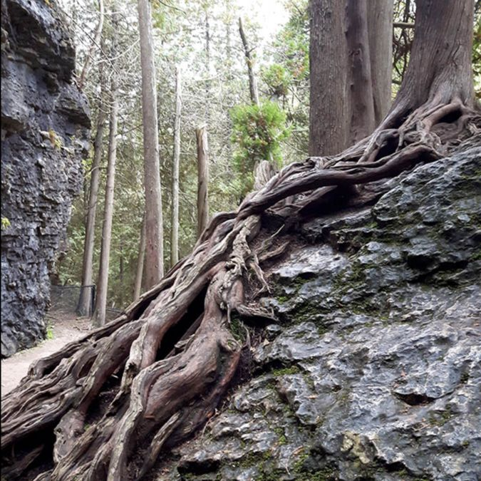 Tree Roots at Elora Gorge