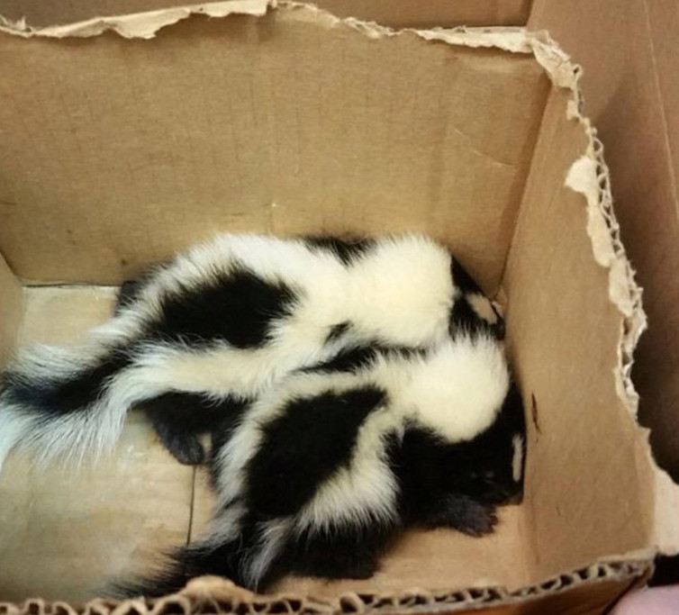 Baby Skunks in a Box