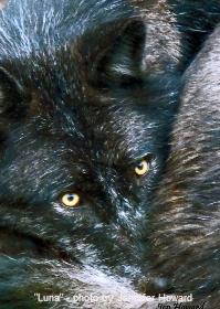 Luna - Alpha of Haliburton Forest