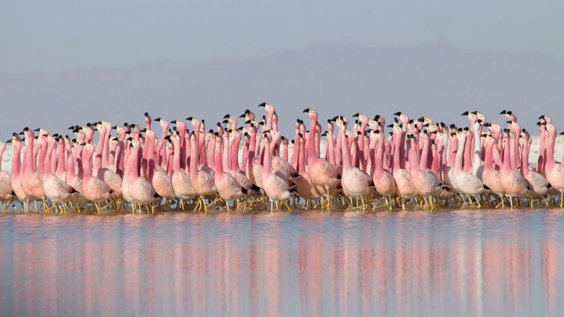 Flamingos in Planet Earth II