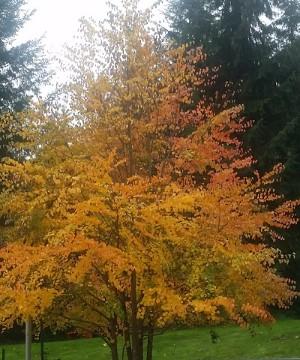Katsura tree Fall beauty
