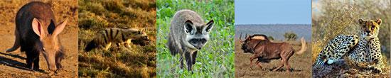 Aardvark, aardwolf, bat-eared fox, black wildebeest & cheetah
