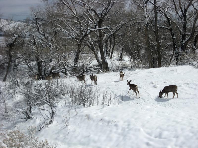 Mule deer at the office