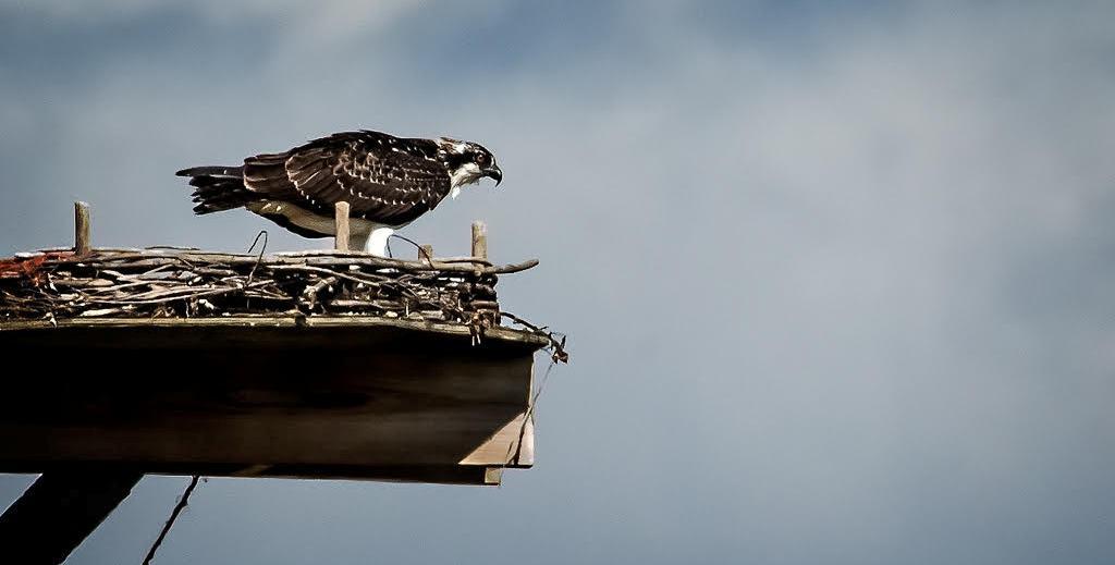Osprey at Fossil Creek Reservoir