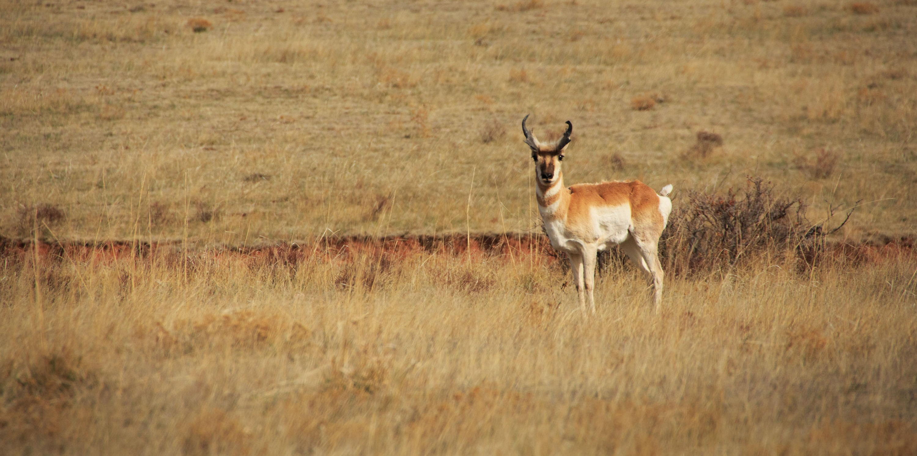 Pronghorn at Red Mountain Open Space