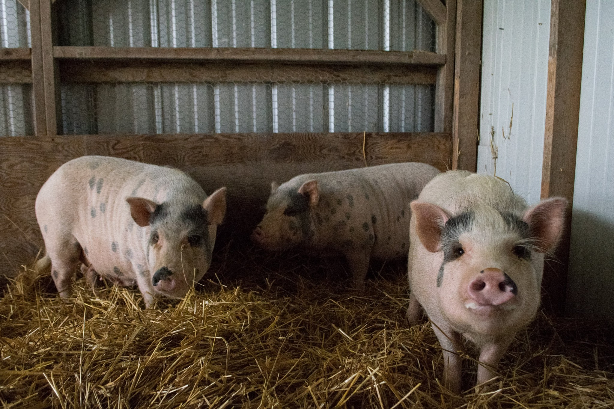 The Refuge's Temporary Pig Family