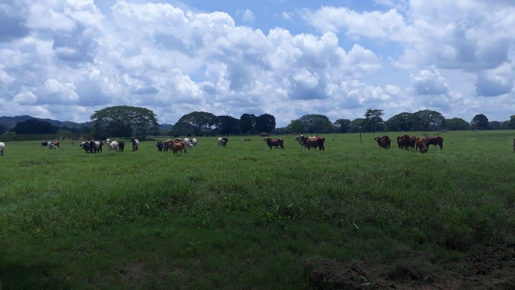 Cattle at Ganaderia Pietrasanta