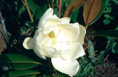 "Prunus spinosa ""Blackthorn"" thanks to RHS image"