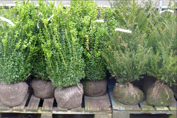 Topiary - rootballed buxus