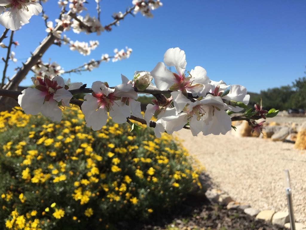 Amandelboom in bloei