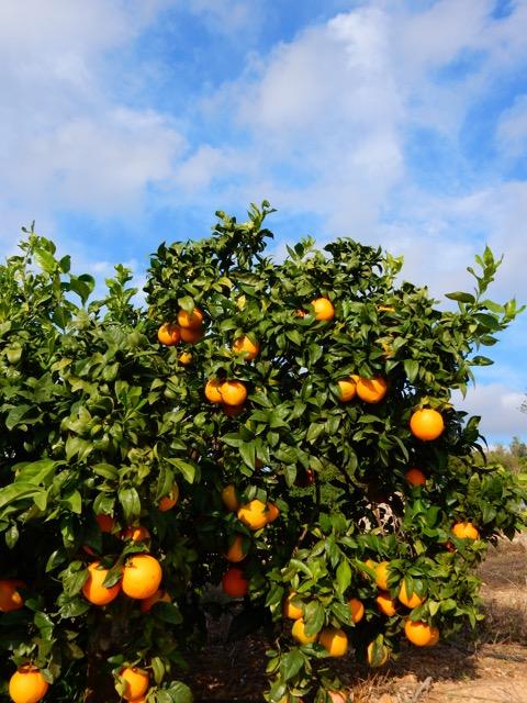 Sinaasappelgaard in de Oost Algarve