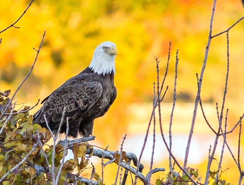 Photograph of Bald Eagle