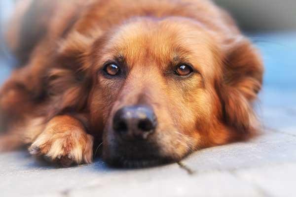 A senior dog lying on the floor.