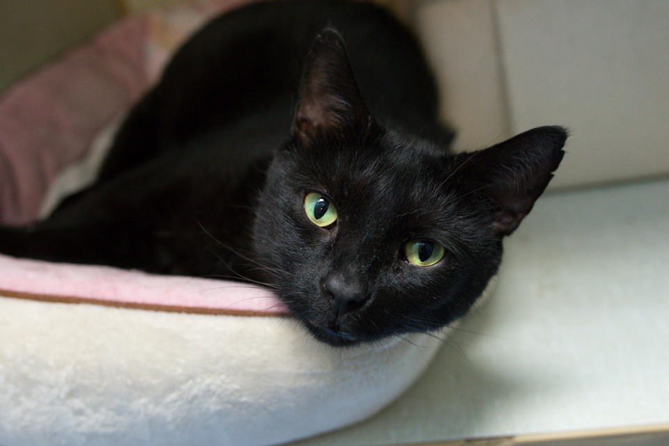 Mito, a black cat looking for a home.
