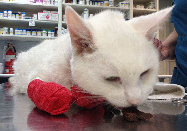 Snowball with his paws in red bandages.