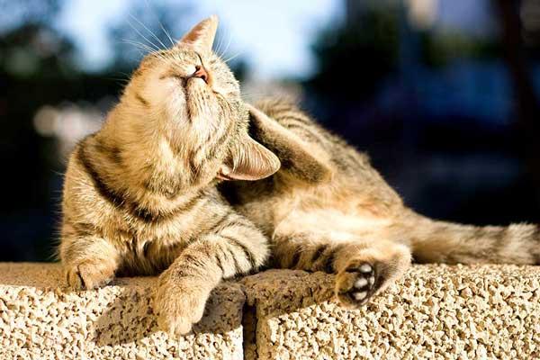 A cat scratching.