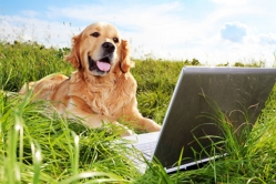 A golden retriever using a computer to shop our new webstore.