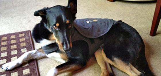 Hercules, a dog wearing a thundershirt during a recent storm.
