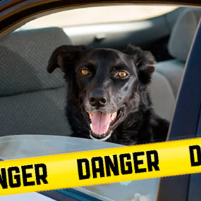 A panting dog in a hot car with hazard tape in front.