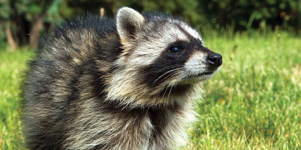 A racoon on the grass