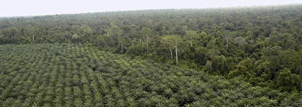 Baum-Monokultur