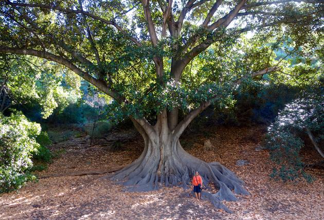 Moreton Bay Fig, Perth Australia (Tree Love)