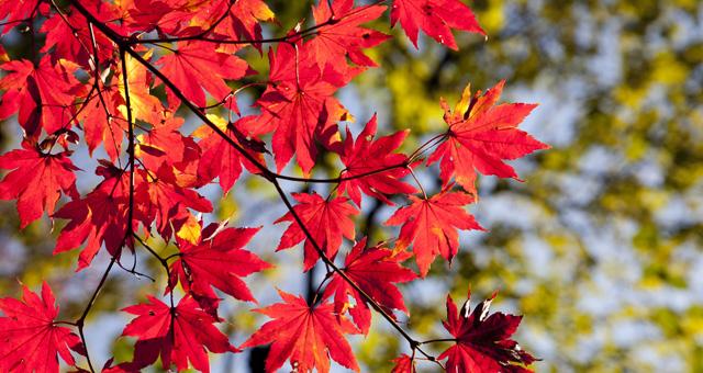 rote Blätter eines Baumes