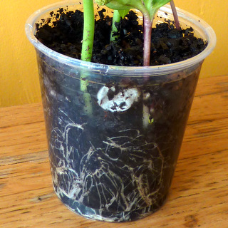 Grow a Root View Cup