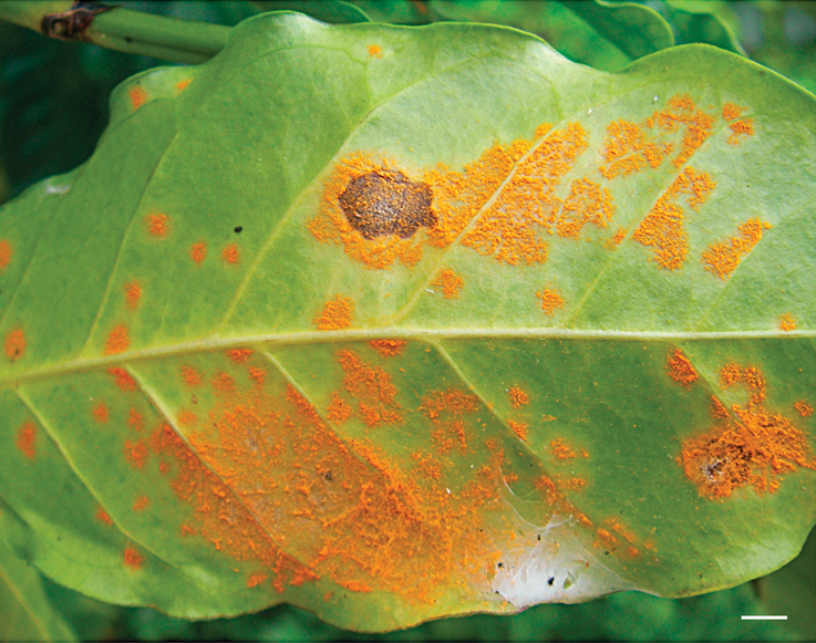 Coffee rust fungus