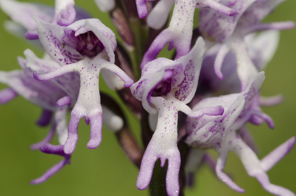 The Naked Man Orchid