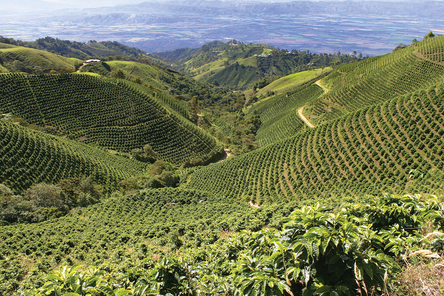 A typical coffee plantation with rolling hills of neatly-lined rows of coffee plants exposed to the full sun