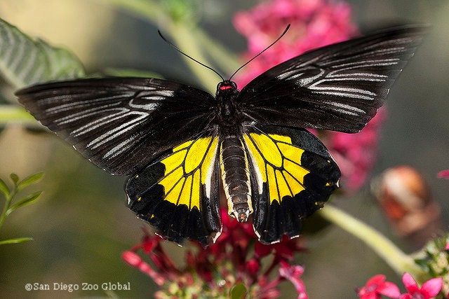 Butterfly copyright San Diego Zoo Global