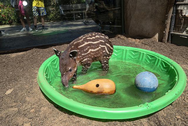 Malaysian tapir tot