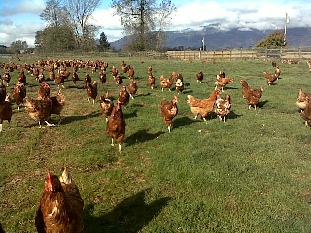 Rehoboth hens out in the pasture.