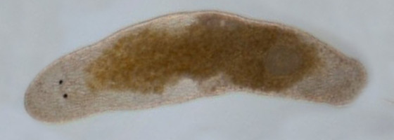 Macrostomum hystix. Credit: Ramm SA, Schlatter A, Poirier M, Schärer L