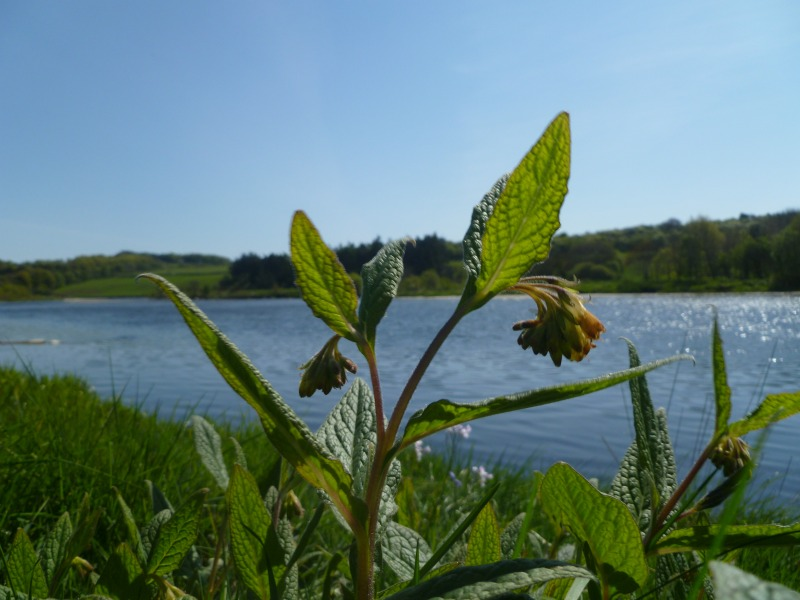 Comfrey by the river
