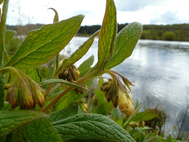 Comfrey By the River Dee