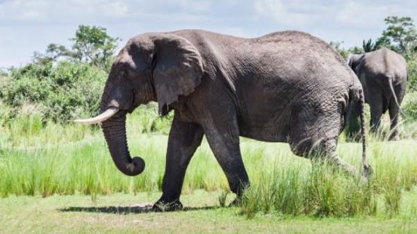 An elephant in Uganda's Murchison Falls National Park. (Photo: Jurriaan Persyn, Creative Commons via Flickr)