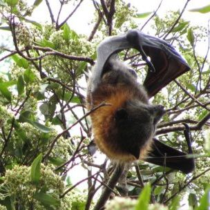 In warm climates bats are important pollinators and seed dispersers. The ongoing decline in the number of pollinating insects and animals threatens global crop production (Photo: Carms, Creative Commons via Flickr)