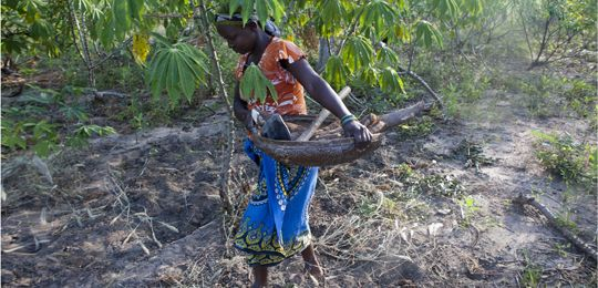 Meceburi Forest, Mozambique: a young woman harvests casava
