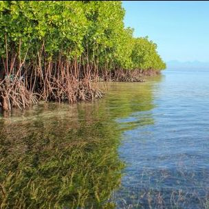 Mangroves and seagrasses in Lembongan, Indonesia. Conserving mangrove forests be part of ecosystem-based adaptation, protecting coastlines and biodiversity (Photo: Steven Lutz/Blue Forests, Creative Commons via Flickr)