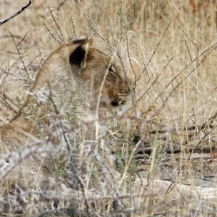 Recovering wildlife populations in Namibia are largely attributed to policies that give local people rights to benefit from wildlife on their land (Photo: Ronald Woan, Creative Commons via Flickr)