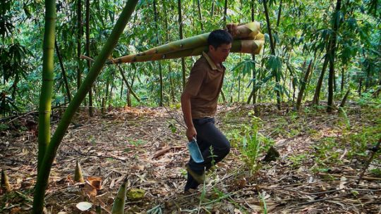 Photo: A migrant bamboo farmer harvests bamboo shoots in Tianlin County, China (Photo: Nick Hogarth/CIFOR, Creative Commons, via Flickr)