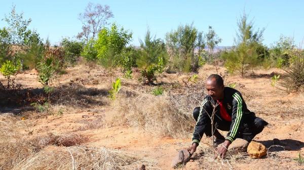 A sapphire miner works to plant trees on a deforested mine plot. (Photo: Dina Rafanomezantsoa/Ymagoo)
