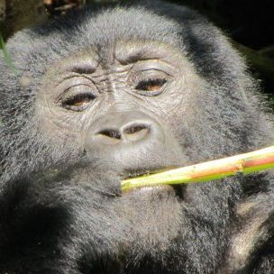 Photo: Bwindi is famous for its mountain gorillas – but there are other attractions (Credit: Dilys Roe/IIED)