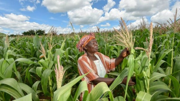 Malawi's subsistance farmers have recently faced both heavy rains and drought. Adopting new seed varieties and farming practices helps reduce food shortages (Photo: Neil Palmer/CIAT, Creative Commons, via Flickr)