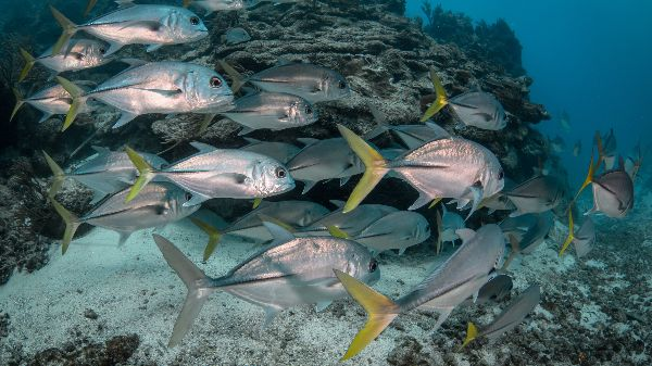 A school of fish swim along a reef. The first 'Insights' examines models for investment in marine protected areas (Photo: Philip Hamilton/Blue finance)