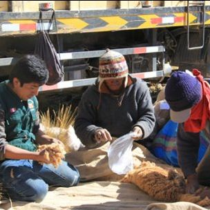 Inspecting the quality of fibre obtained by capturing and shearing wild vicuñas. A successful trade ban and sustainable use plans have increased vicuña population numbers (Photo: SERNANP)