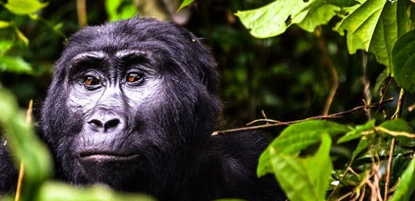 Uganda gorilla park